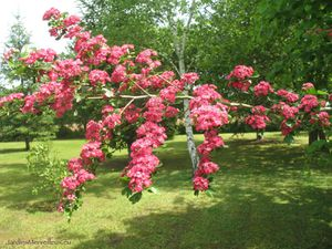 Secteur sud-est du jardin de Frescati : aubépine rouge et viornes