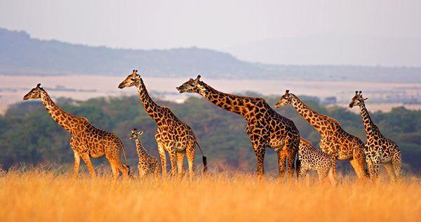 girafes afriques qatar airways