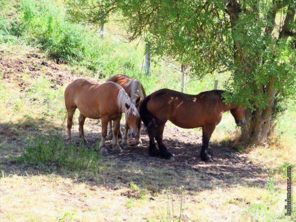 Des chevaux, certains cherchent l'ombre !