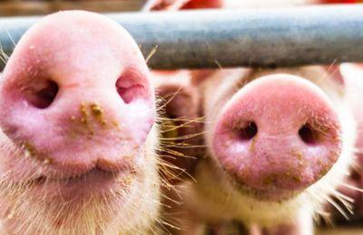 Elevage industriel de porcs