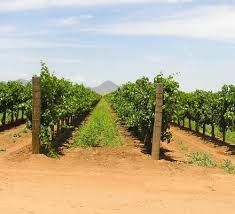 The vineyards of New Mexico