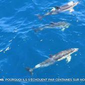 Pourquoi des dauphins s'échouent-ils par centaines sur nos côtes ? - Le Journal du week-end   TF1