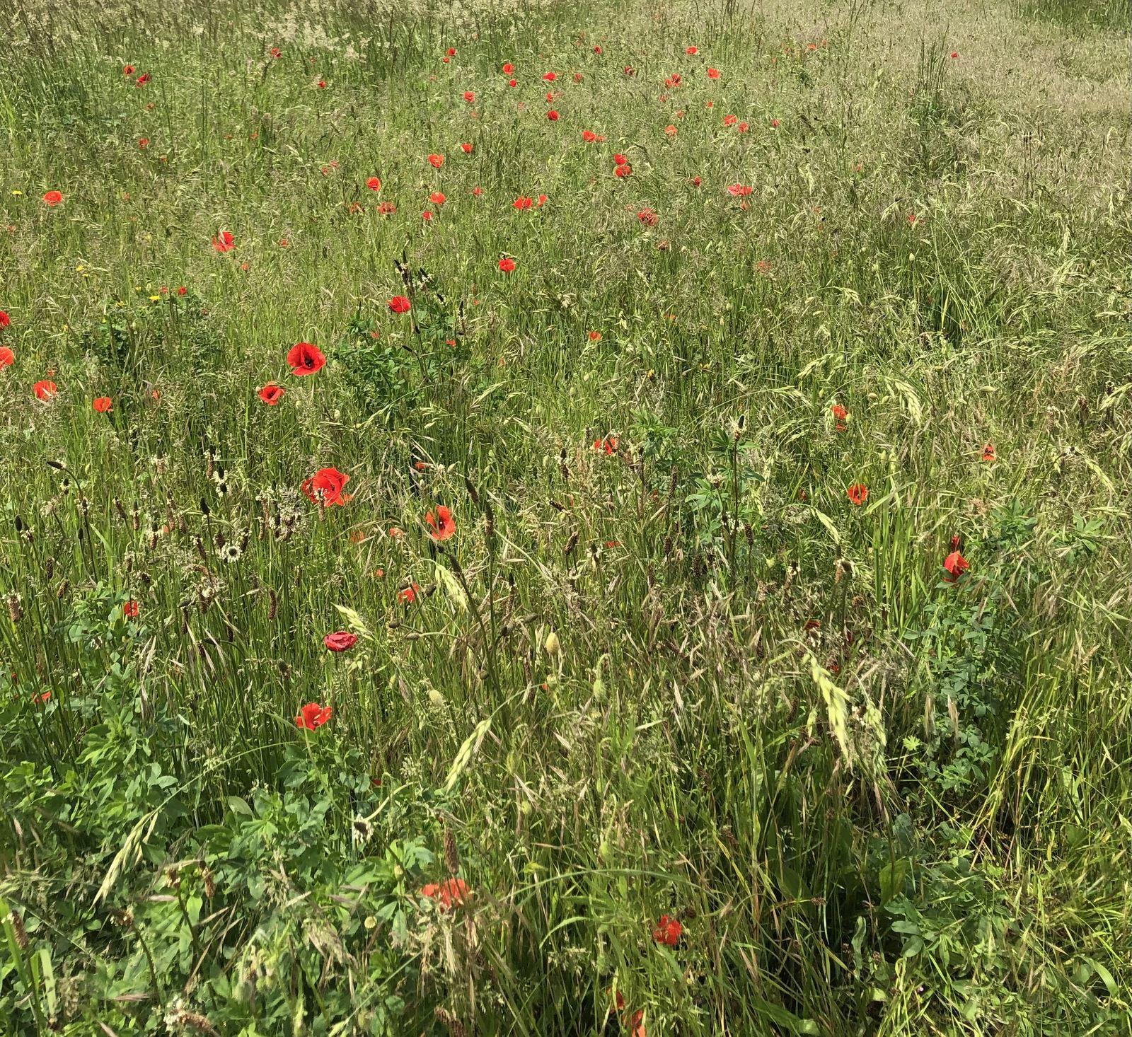 Une prairie tout en rouge...