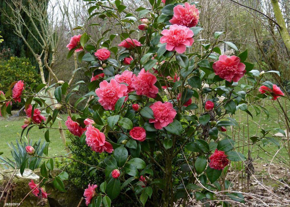 Camélia  'Mme Martin Cachet' - Camellia 'Mme Martin Cachet'