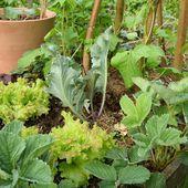 Le potager en juin - Au jardin des Quatre Moineaux