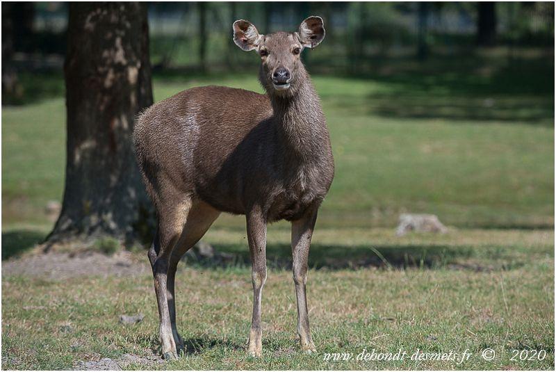 Cette espèce présente un dimorphisme sexuel. Les femelles sont plus petites que les mâles et n'ont pas de bois.