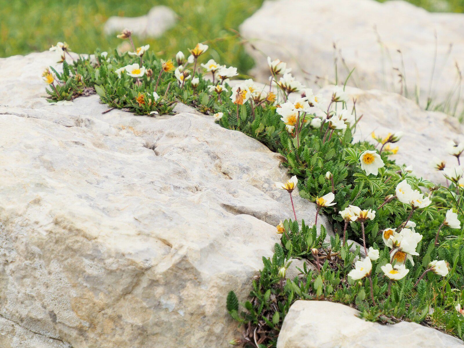 Flore du Vercors.