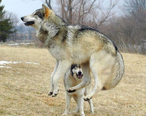 Loup y es-tu ? Que fais-tu ?