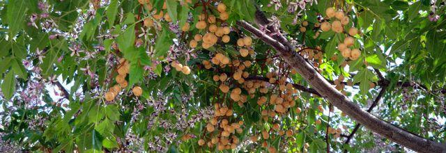 22 - Le Margousier un arbre qui sait tout faire