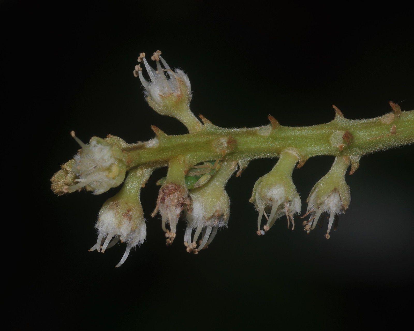 Cupania diphylla