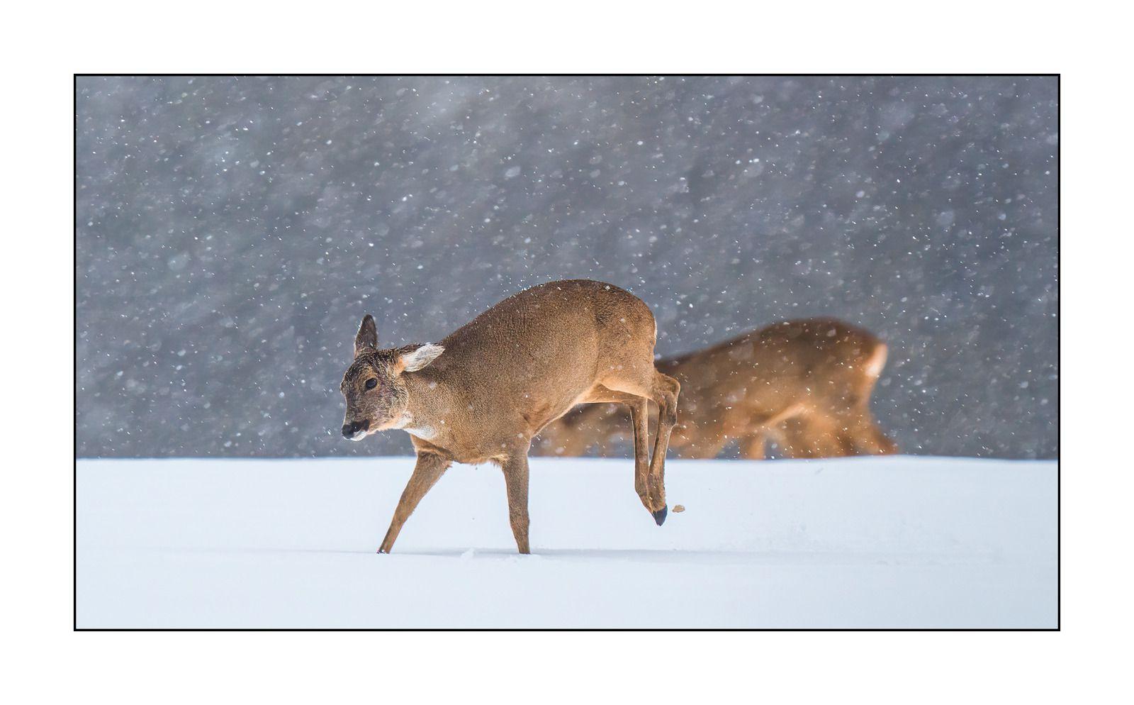 Chevreuil sous la neige