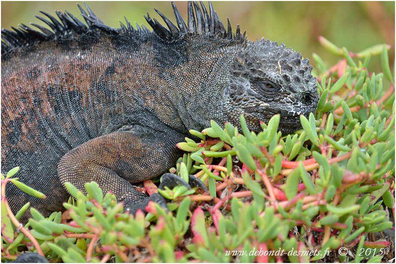 Iguanes marin se prélassant dans les buissons salés