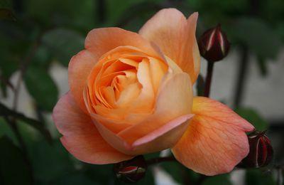 Allons voir si la rose ......