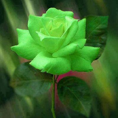 La rose verte
