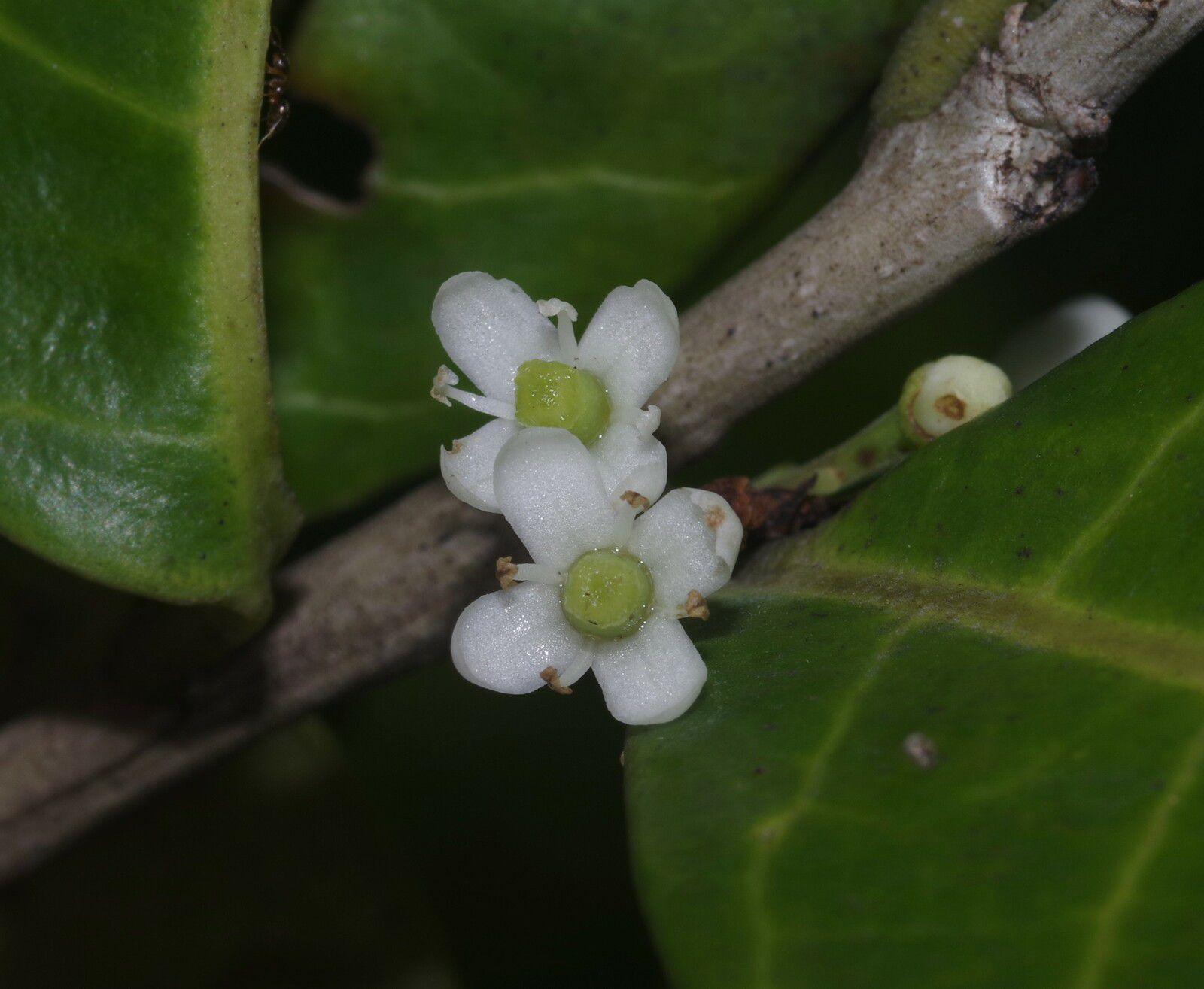 Ilex guianensis