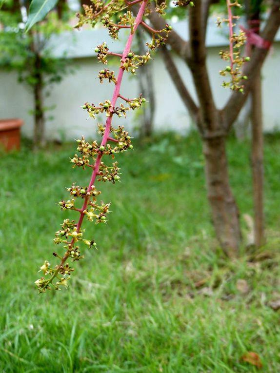 Bientôt des mangues dans le jardin... ? (2)