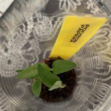 semis de poivron paprika dans le micro jardin urbain, deuxième essai