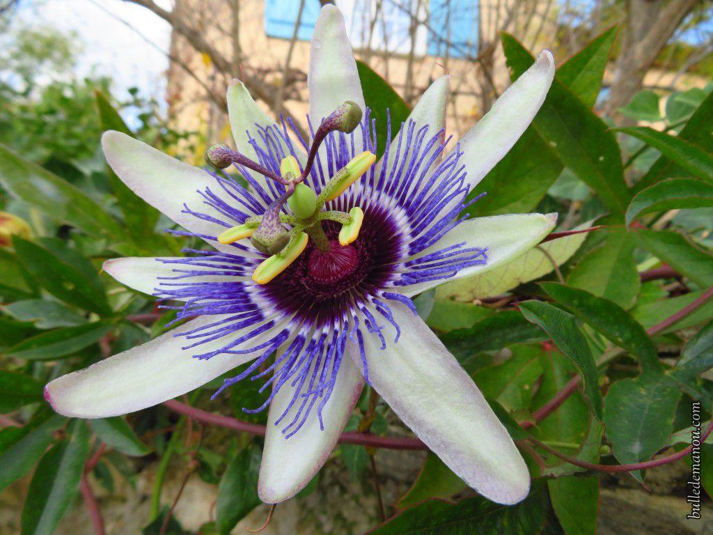 Une fleur de passiflore