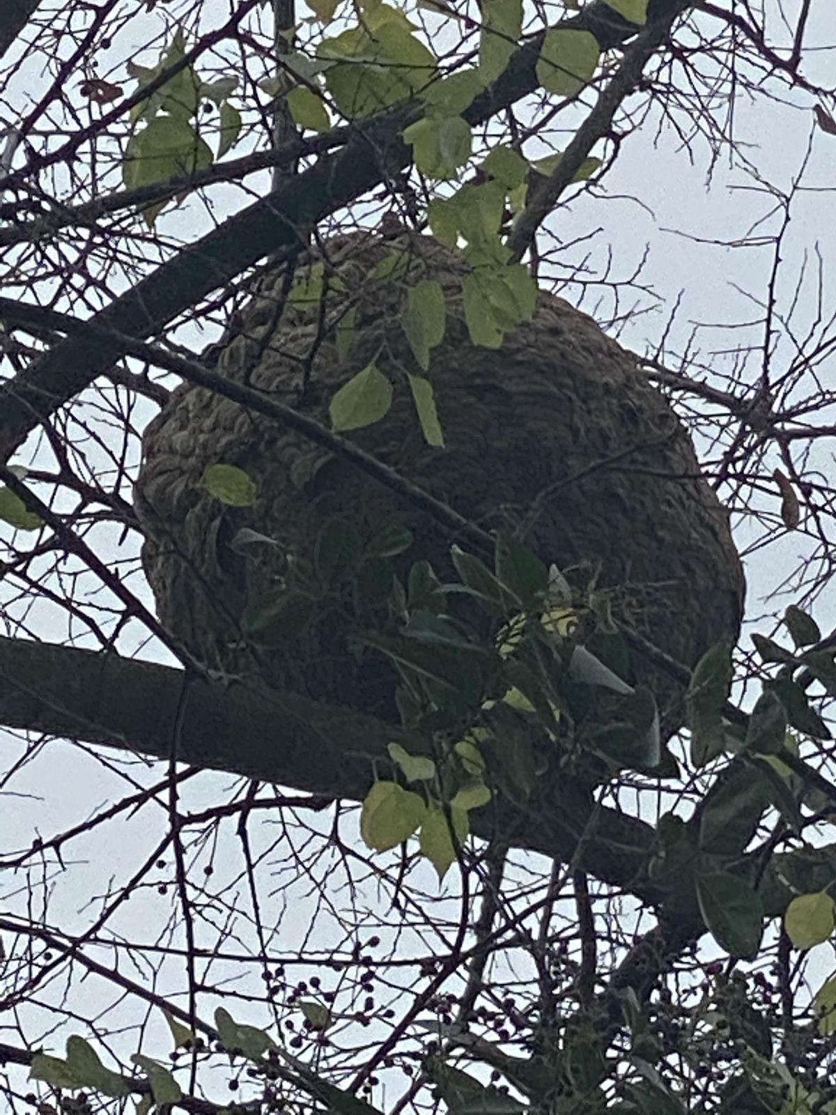 Bordeaux destruction traitement   de vos nids de frelons par ADSA33 CONTACT 06 78 18 32 34