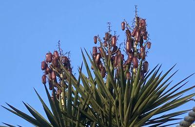 Fruits de yucca