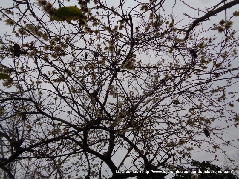 Mes fleurs de saison : Néflier ,Chimonanthus, Viburnum Botnentense ,Abutilon , Mahonia ,Houx