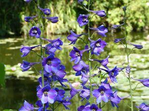 Toujours plantes d'ombre et mi ombre (acte 2) : 1) sauge Guaranitica Black and Blue non éclose, 2) dahlia Tartan, 3) tricyrtis hirta, 4) phlox 5) delphinium, 6) cassia