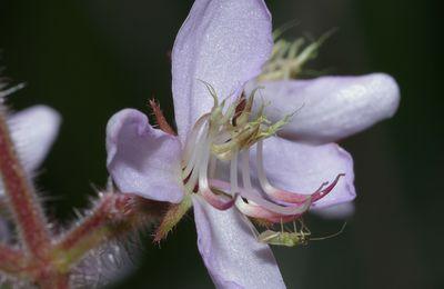 Ernestia granvillei