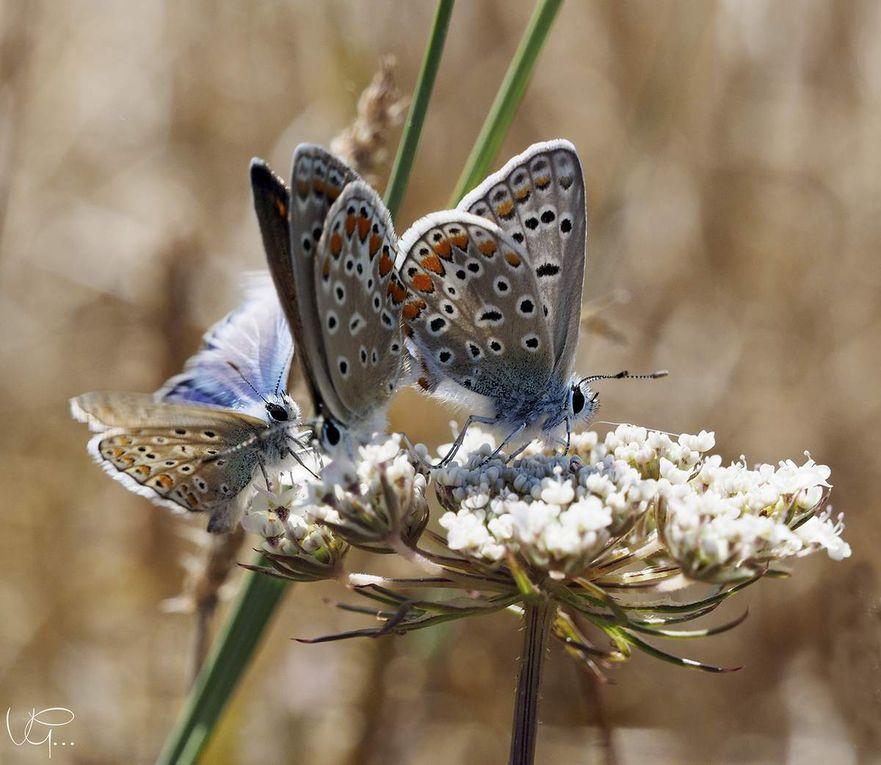 P comme papillons du jardin - Augus bleu, Gazés, Jaune citron, Paon du jour, Papillons de nuit, Tirci, Vulcain, Collier argenté