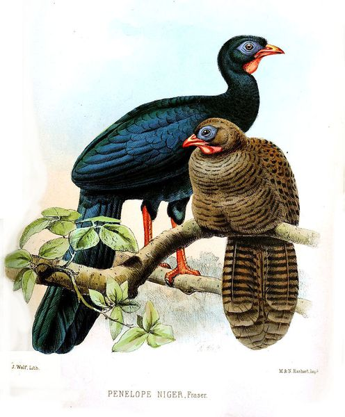 PENELOPE NIGRA - Male (blue-black) and female (brown) The highland guan (Penelopina nigra) is a species of bird in the family Cracidae. It is found in the highlands of El Salvador, Guatemala, Honduras, southern Mexico, and Nicaragua.