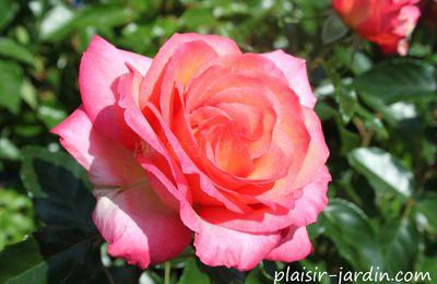 Le rosier 'Rosa Del Camino del Santiago'