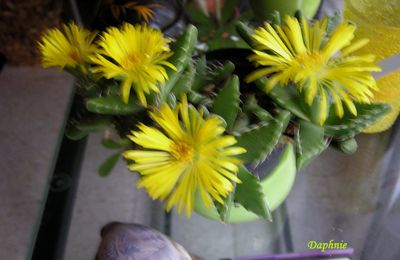 Passions végétales : les succulentes: faucaria felina