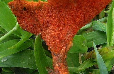 Pycnopore rouge cinabre ou rouge sang?