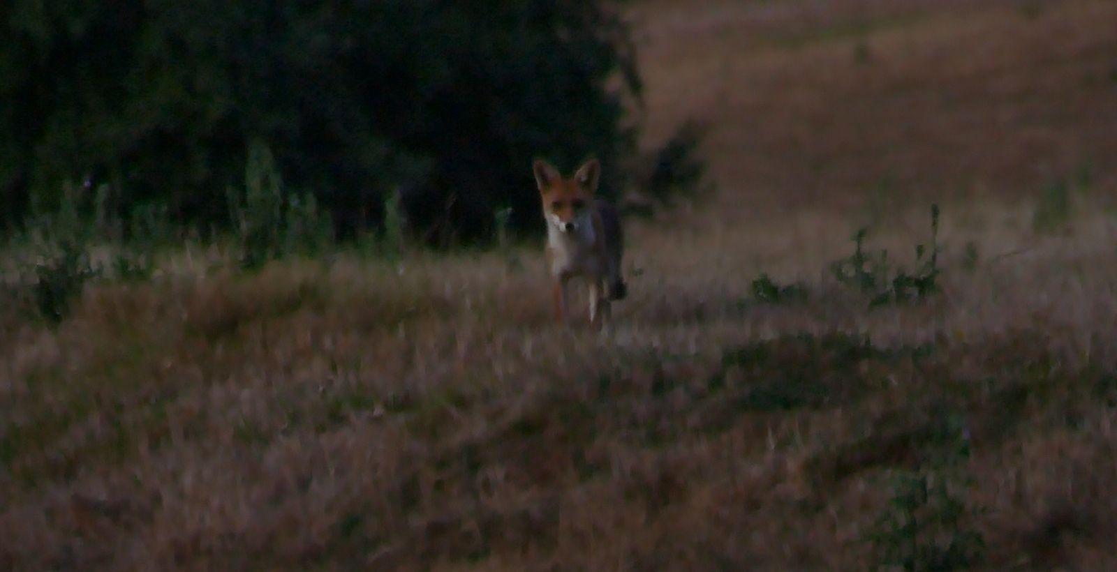 Premier renard tarnais, 8 août 2020