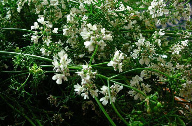 Teinture de fleurs et de graines de coriandre