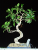bonsai ficus retusa