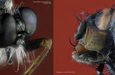 Neomochtherus geniculatus ♀ versus Calliphora vicina