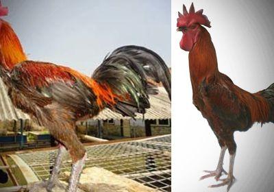 Manfaat Pemeliharaan Ayam Pelung
