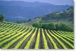 Vineyard in Sonoma Valley
