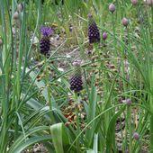 Le muscari à toupet : une plante comestible peu connue - Au jardin des Quatre Moineaux