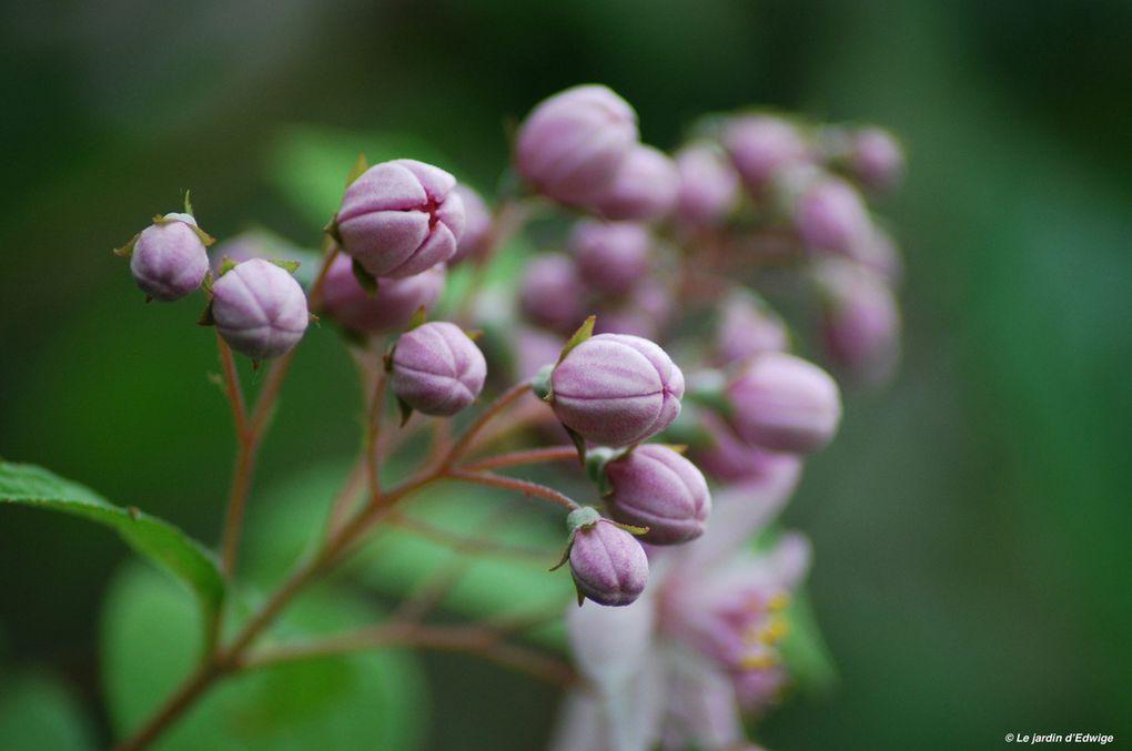 Une grappe de fleurs roses sur un feuillage en forme de lance bordé de fines dents.