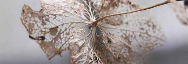 Fleurs d'Hydrangéa.. en Hiver..
