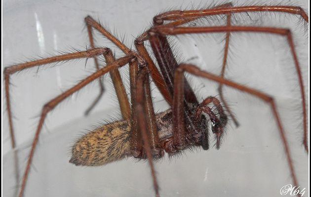 Araignée : Eratigena  atrica ?