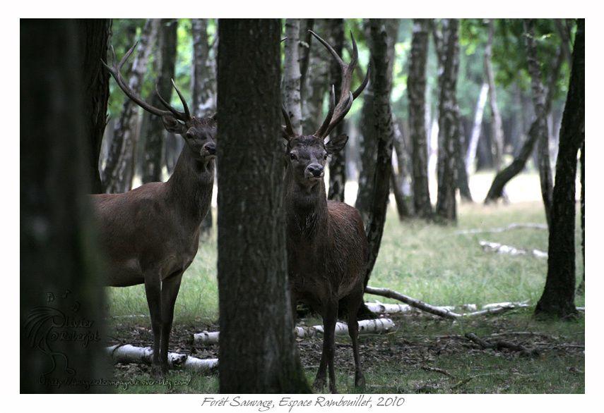 Voici quelques photos prise en 2010 dans la forêt sauvage de l'espace Rambouillet. L'espace Rambouillet est un parc situé dans les bois de...Rambouillet et qui se compose de 4 parties:  la forêt des aigles, La forêt des cerfs, la forêt sauvage,