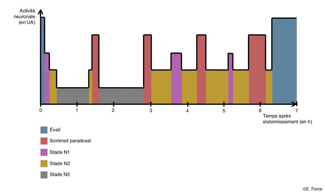 Figure 2. Les différents stades du sommeil (illustration : E. Force).