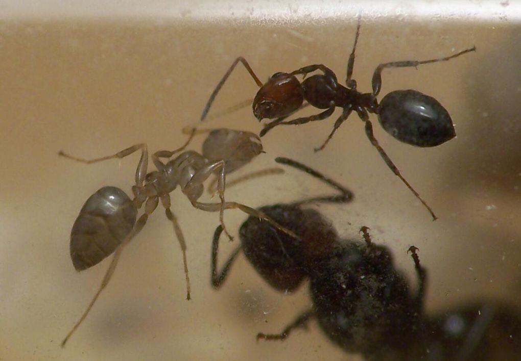 Album - Camponotus lateralis