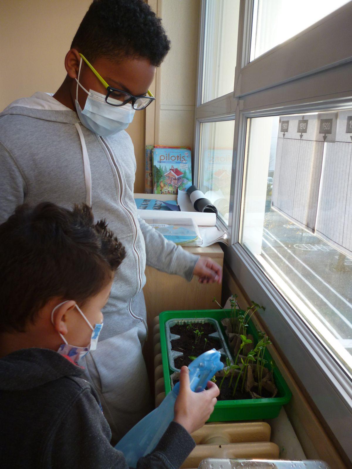 Dans la classe, on a planté des graines de salade, de radis et de haricots. Les semis de haricots ont poussé très vite.