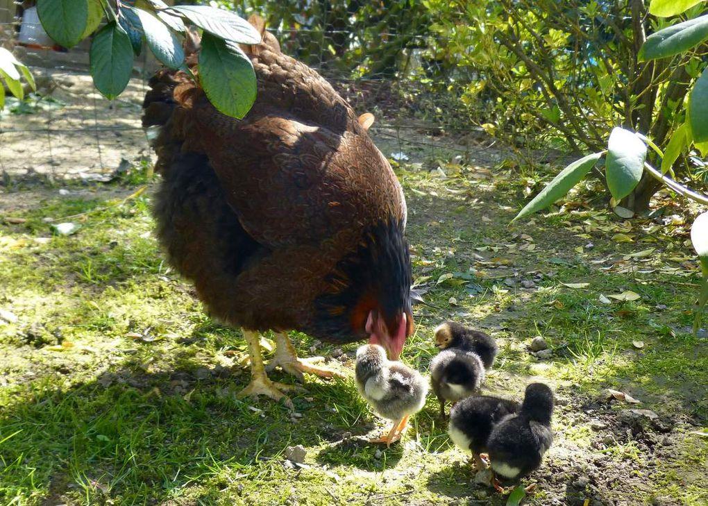 Balade dans le jardin, il fait si beau ! Les poussins ont 2 jours.