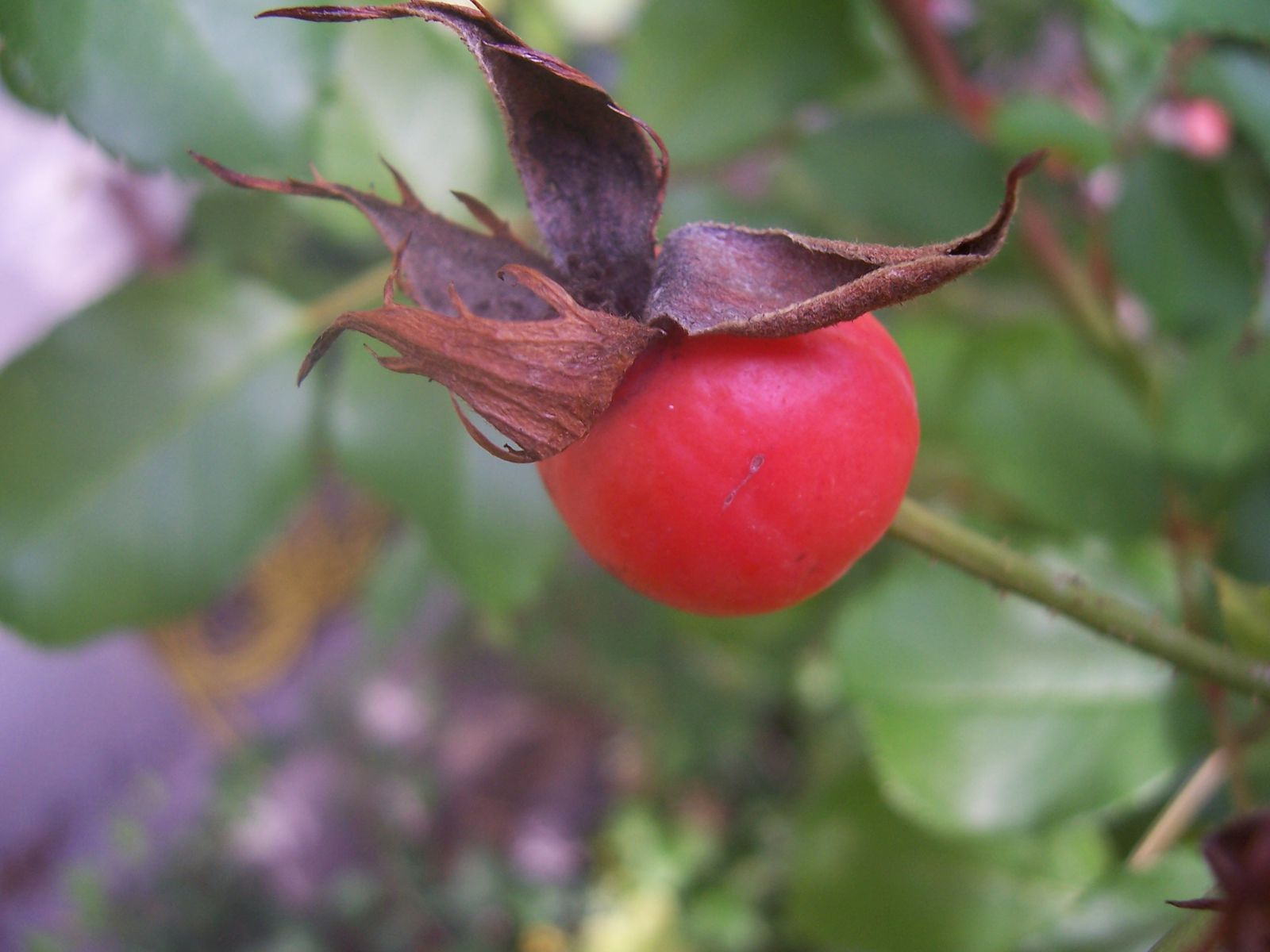 Photo de cynorrhodon fruit du rosier sauvage rosa canina