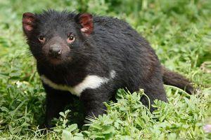 Ils avaient disparu depuis 3 000 ans, des diables de Tasmanie sont nés en pleine nature en Australie