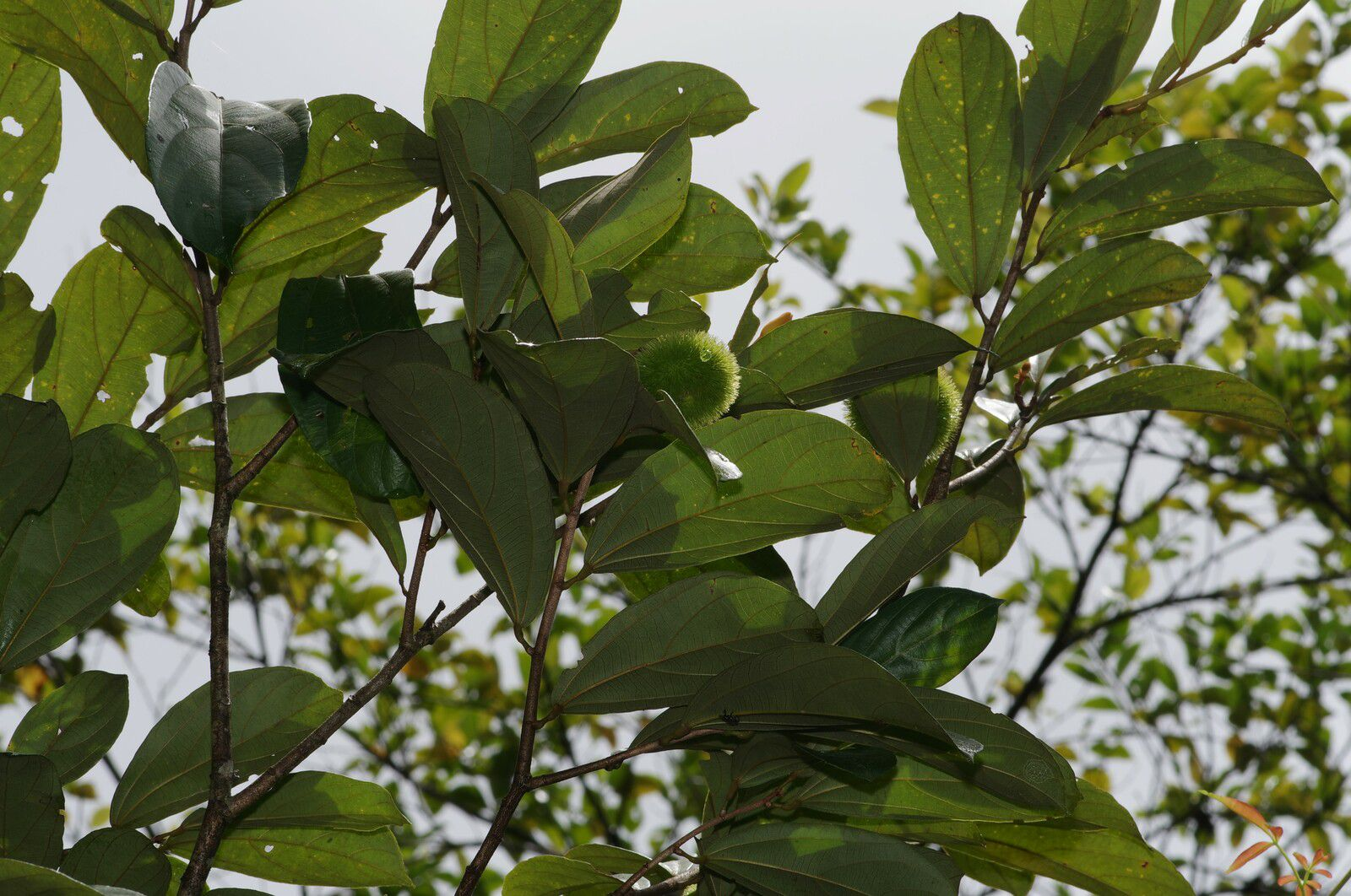 Apeiba glabra (bois bouchon)